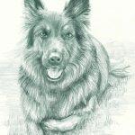 German Shepherd in pencil